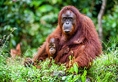 A female of the orangutan with a cub in a native habitat. Bornean orangutan (Pongo pygmaeus) in the wild nature.Rainforest of Island Borneo. Indonesia