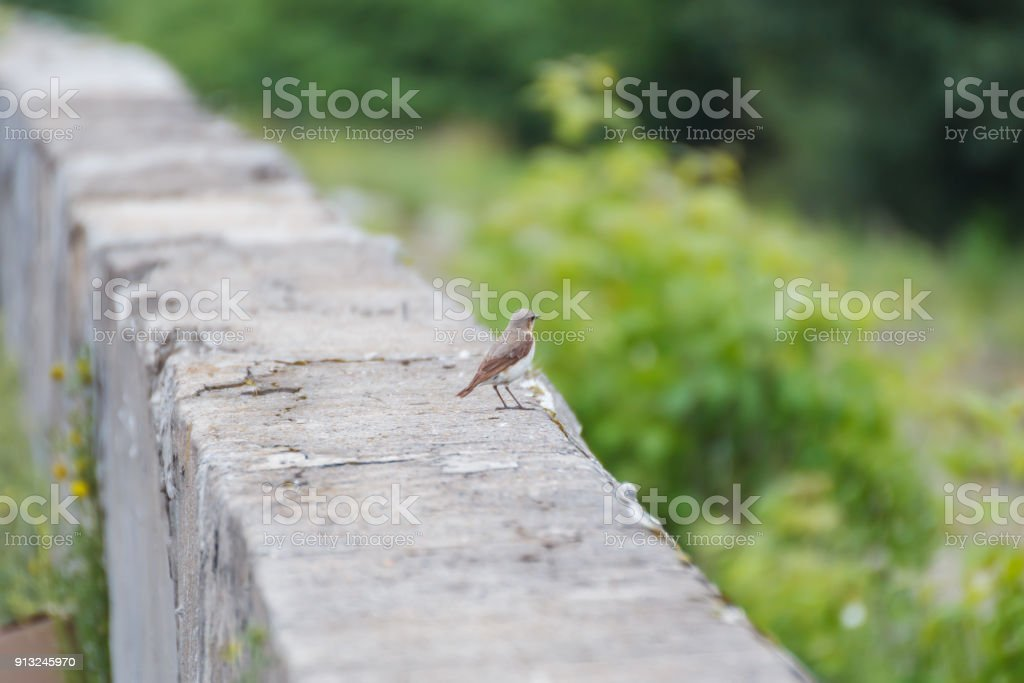 Female of Wheatear on a concrete barrier stock photo