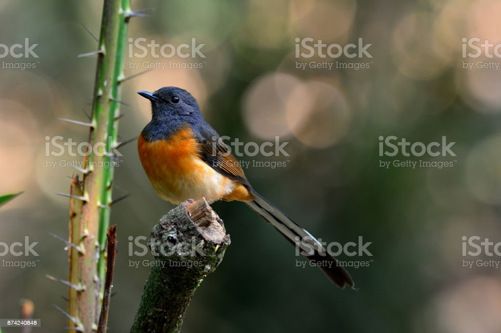 Female of white-rumped shama (Copsychus malabaricus) the beautif stock photo