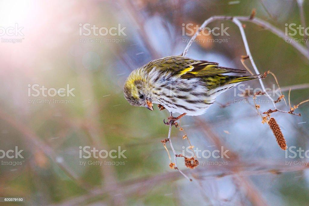 female or sitting Birch branch with sunny hotspot zbiór zdjęć royalty-free