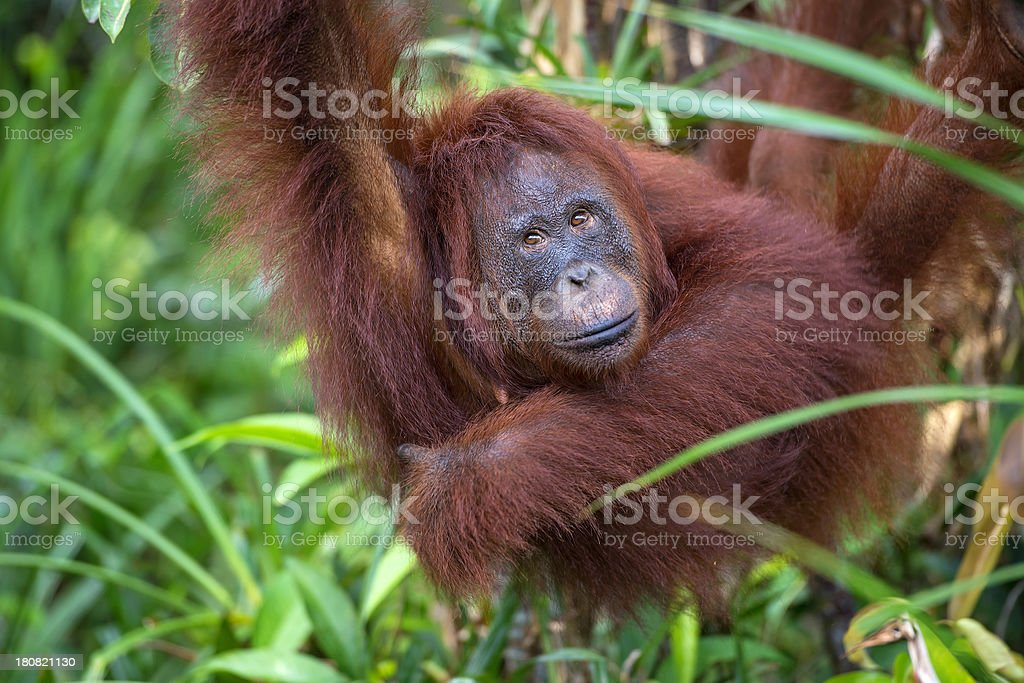 Female Orang Utan hanging in a tree, wildlife shot stock photo
