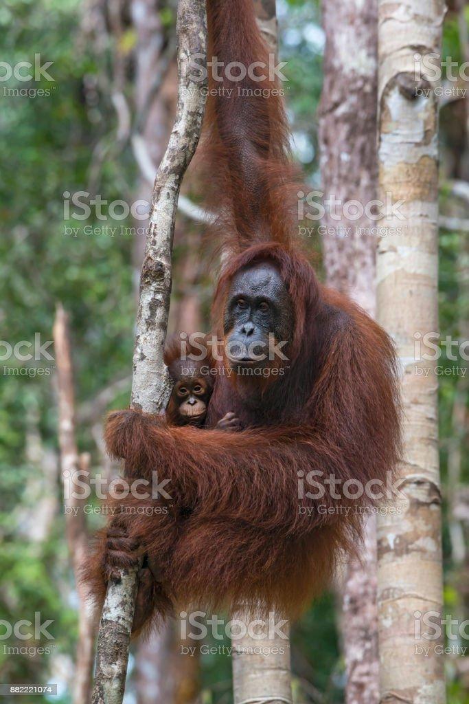 Weibliche Orang Utan mit Baby in einem Baum, Wildtiere erschossen – Foto