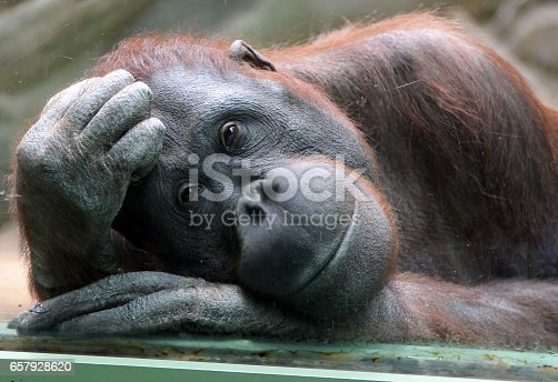 Female orangutan looks thoughtfully through the glass