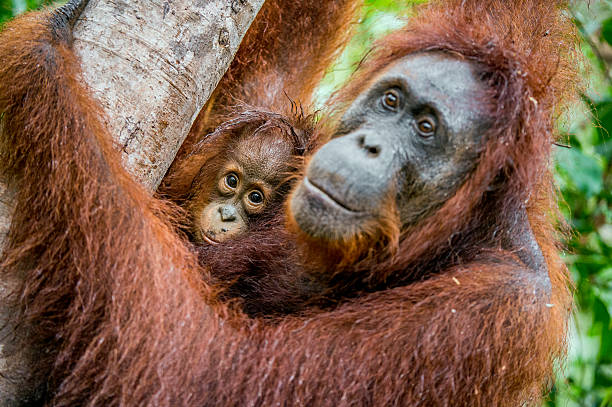 Female orangutan with a cub stock photo