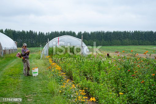 A female organic farmer (real) cutting flowers in the pollinator attraction area of a sustainable vegetable farm.