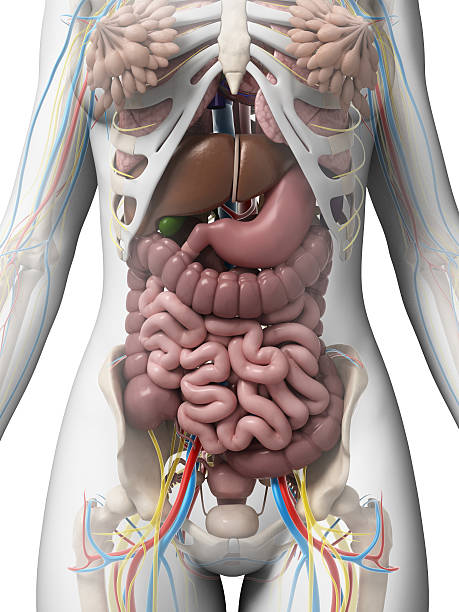 female organs - internal organ stock photos and pictures