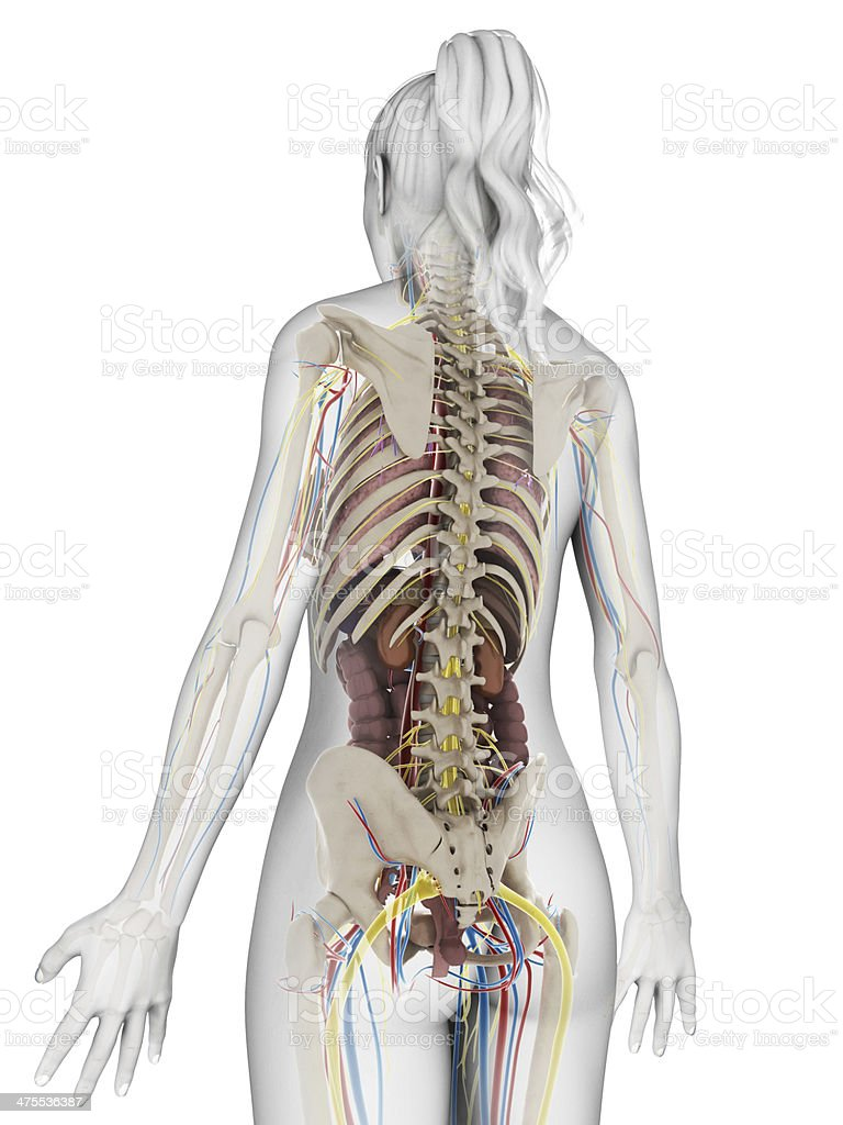Female Organs Stock Photo More Pictures Of Abdomen Istock