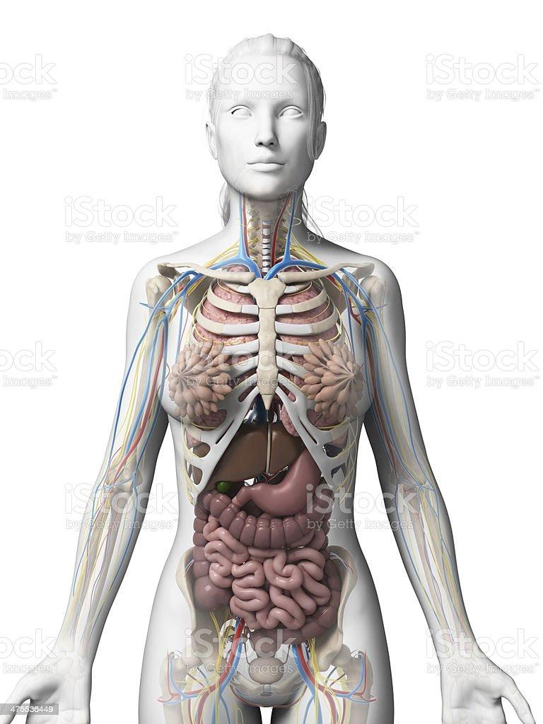 Female Organs Stock Photo & More Pictures of Abdomen | iStock