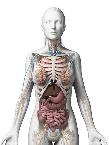 female organs stock photo