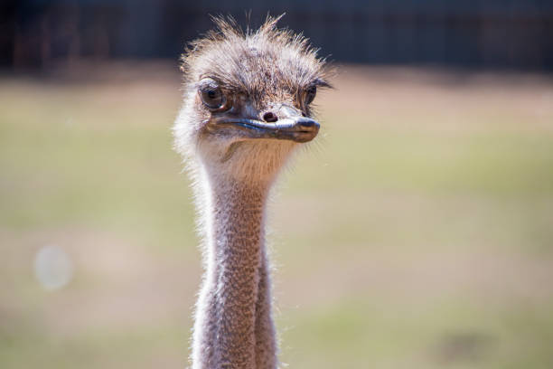 Female Ostrich head shot stock photo