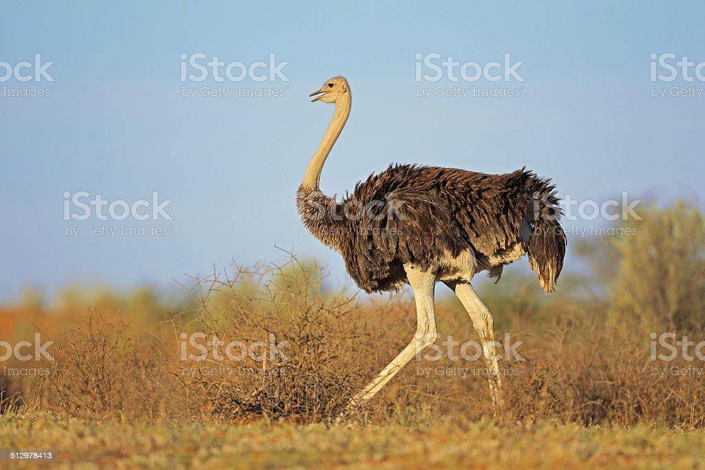 Hembra de avestruces - foto de stock