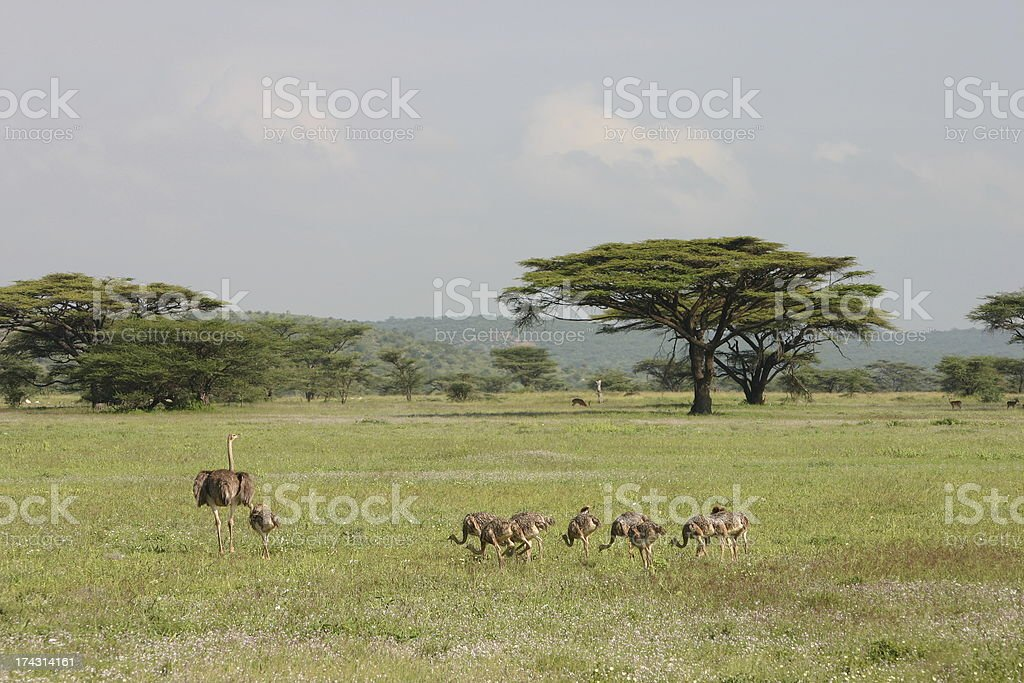 Female Ostrich protects Baby Chicks in the Savannah, Africa royalty-free stock photo