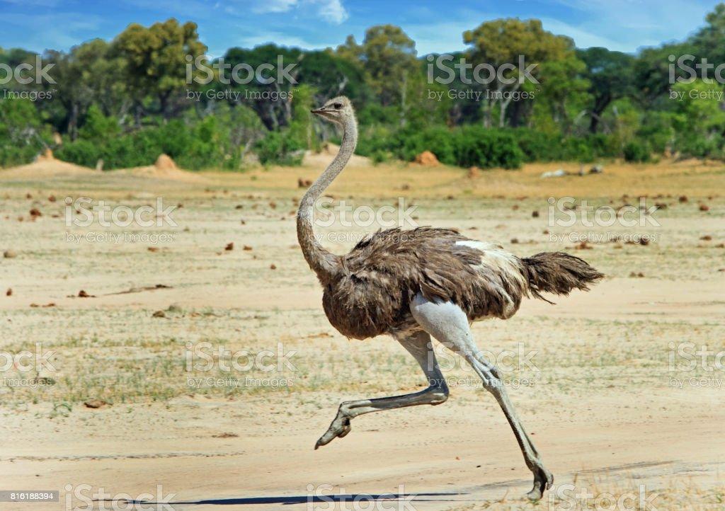 Mujer Avestruz corriendo por las llanuras en el Parque Nacional Hwange - foto de stock