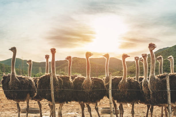 Female Ostriches at sunset stock photo