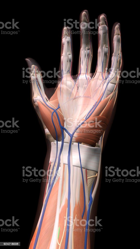 Female Palm Of Hand And Wrist Anatomy On Black Background Stock ...