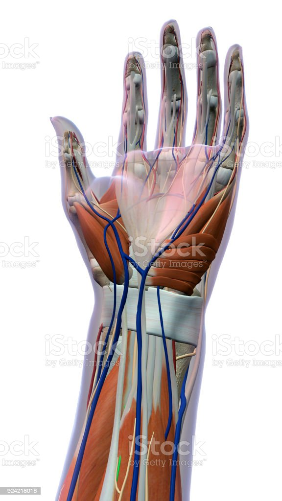 Female Palm Of Hand And Wrist Anatomy On White Background Stock ...