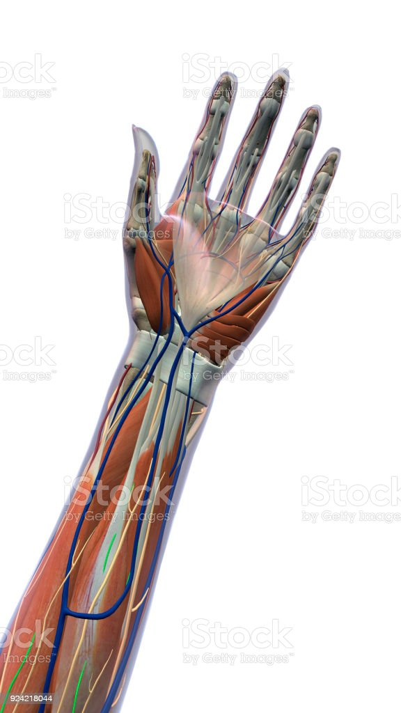 Female Palm of Hand and Wrist Anatomy on White Background stock photo
