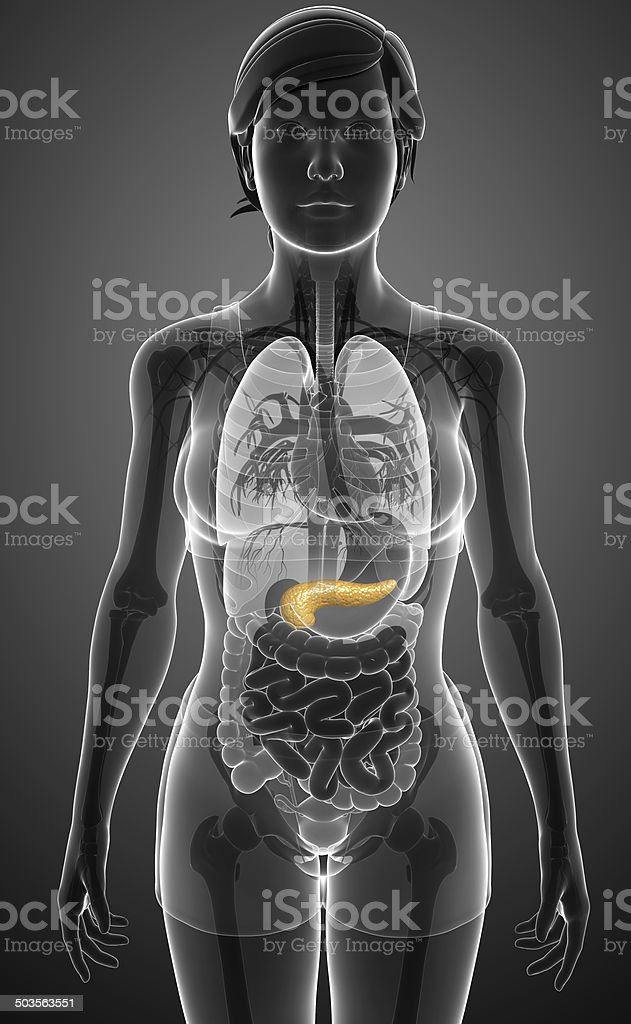 Hembra Páncreas Anatomía - Stock Foto e Imagen de Stock | iStock