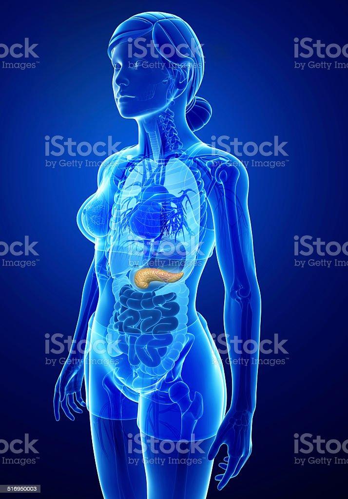 Hembra Páncreas Anatomía - Fotografía de stock y más imágenes de ...