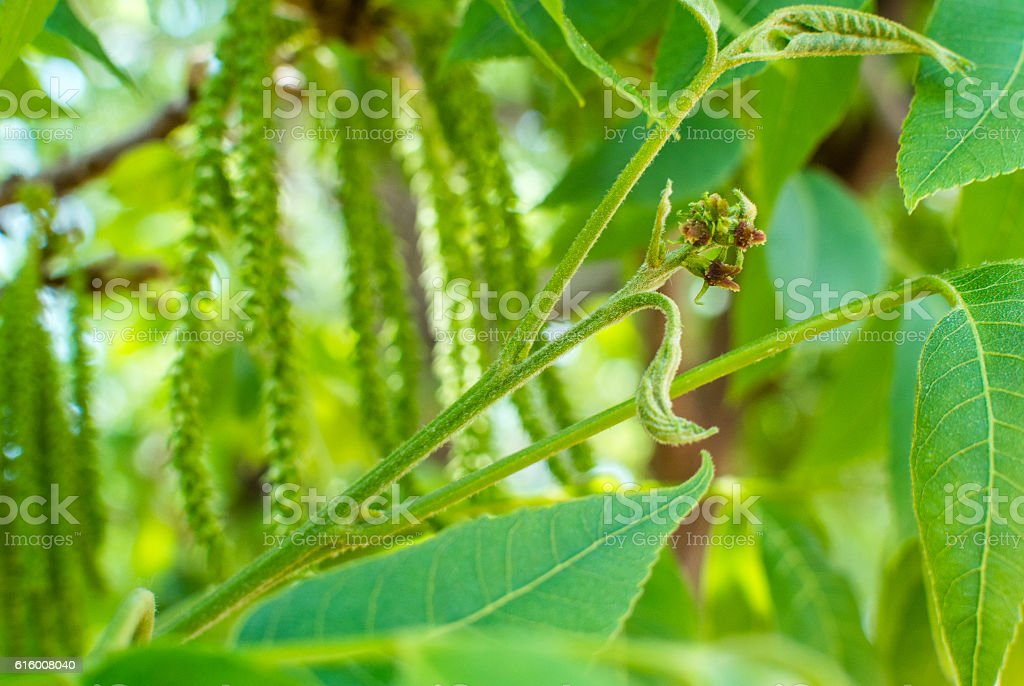 Female pecan flower with male flower background stock photo