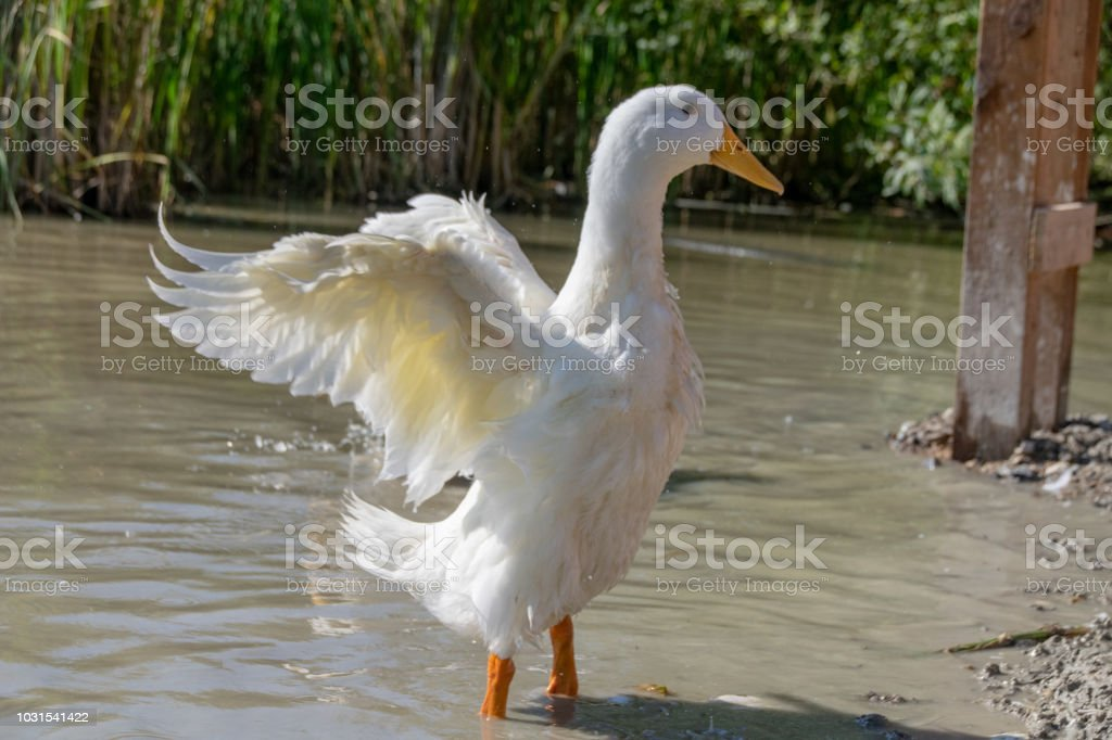 Female pekin duck (Anas platyrhynchos domesticus) standing out with out stretched wings stock photo