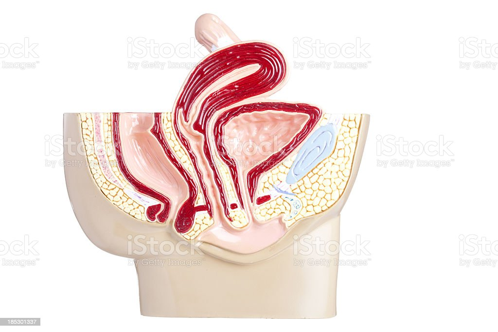 Female pelvis royalty-free stock photo