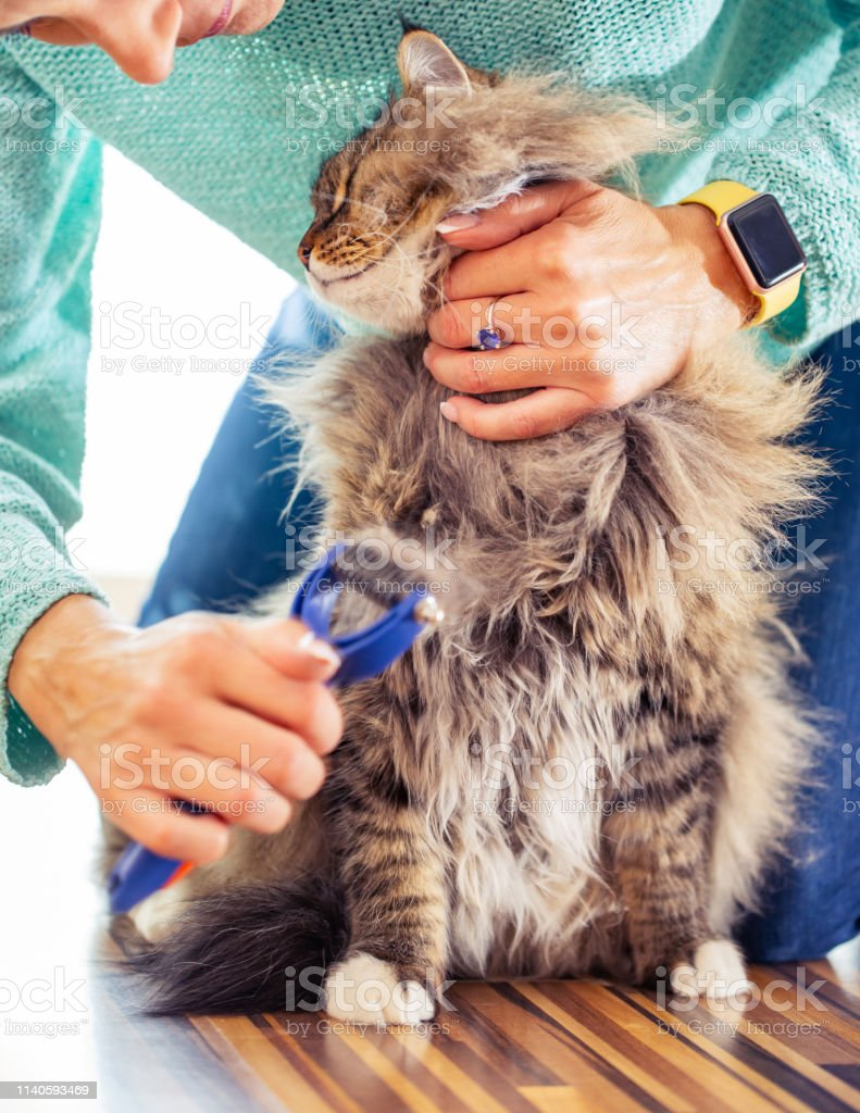 Female Pet Owner Brushing Her Siberian Cat.