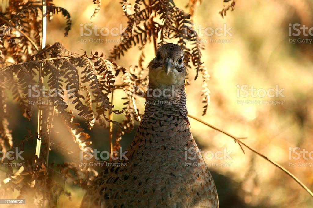 female pheasant bird in uk countryside royalty-free stock photo