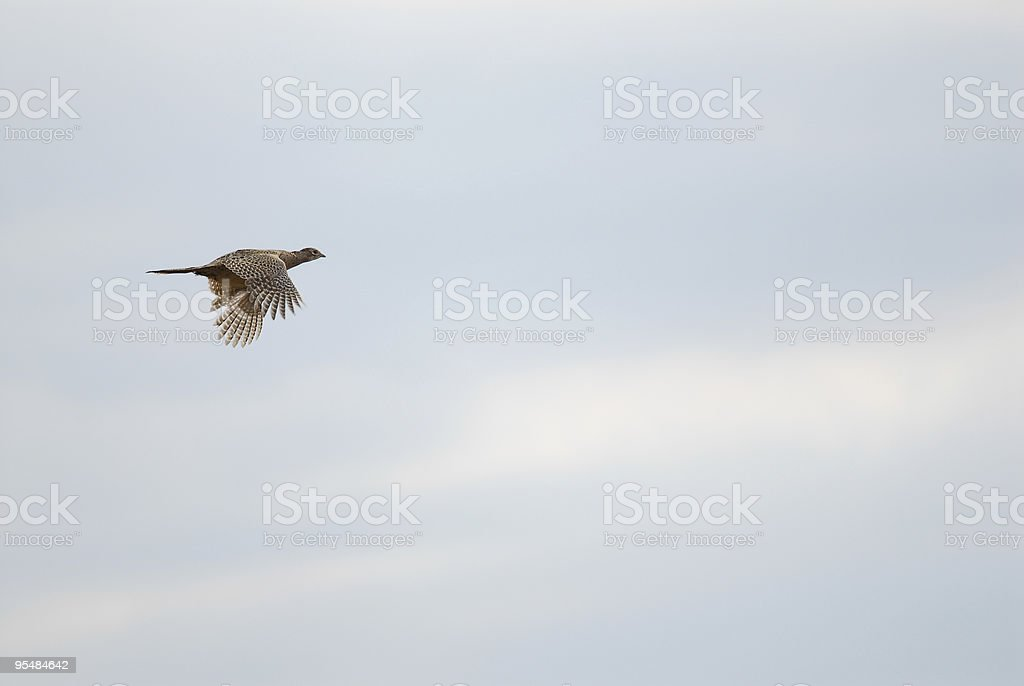 Female Pheasant in Flight royalty-free stock photo