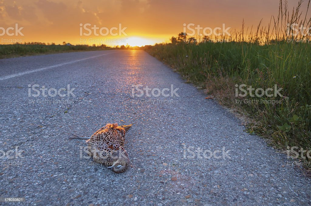 Female pheasant lying injured on the road stock photo