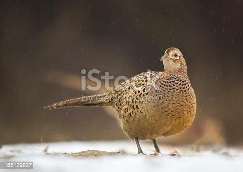 1065862132 istock photo Female pheasant on snow in rainfall 185139637
