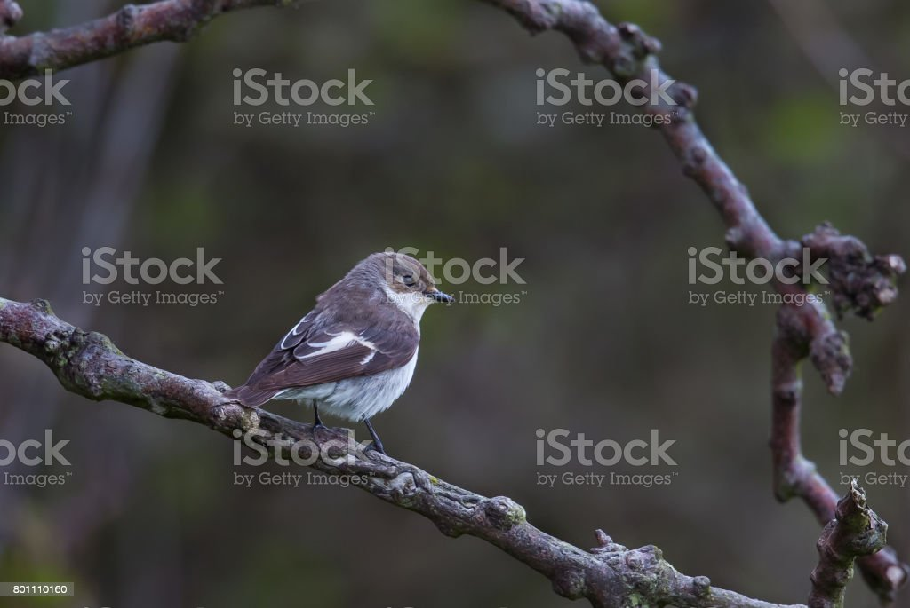 Female Pied Flycatcher perched stock photo