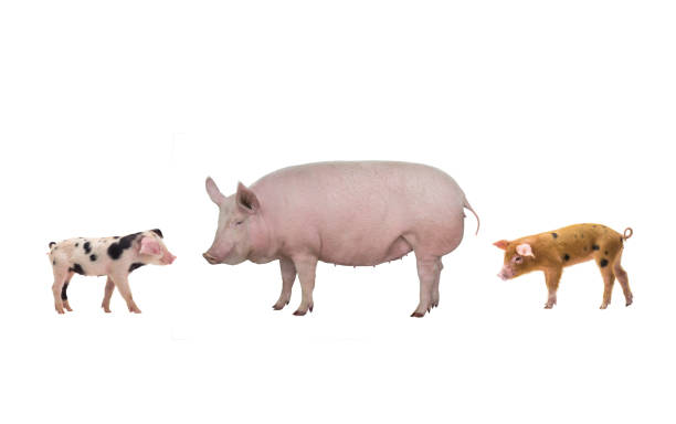 female pig and piglet  isolated on white stock photo