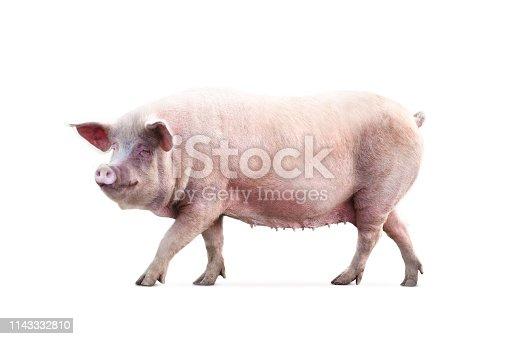 female pig isolated on white background
