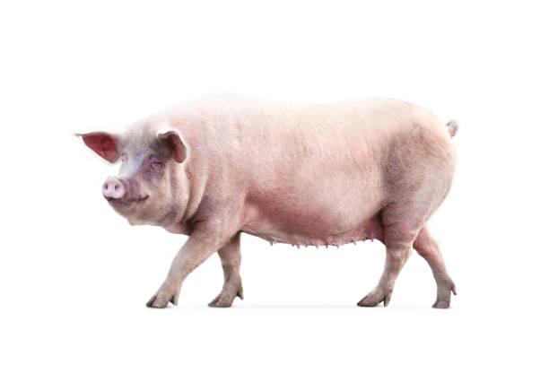 female pig isolated on white background stock photo