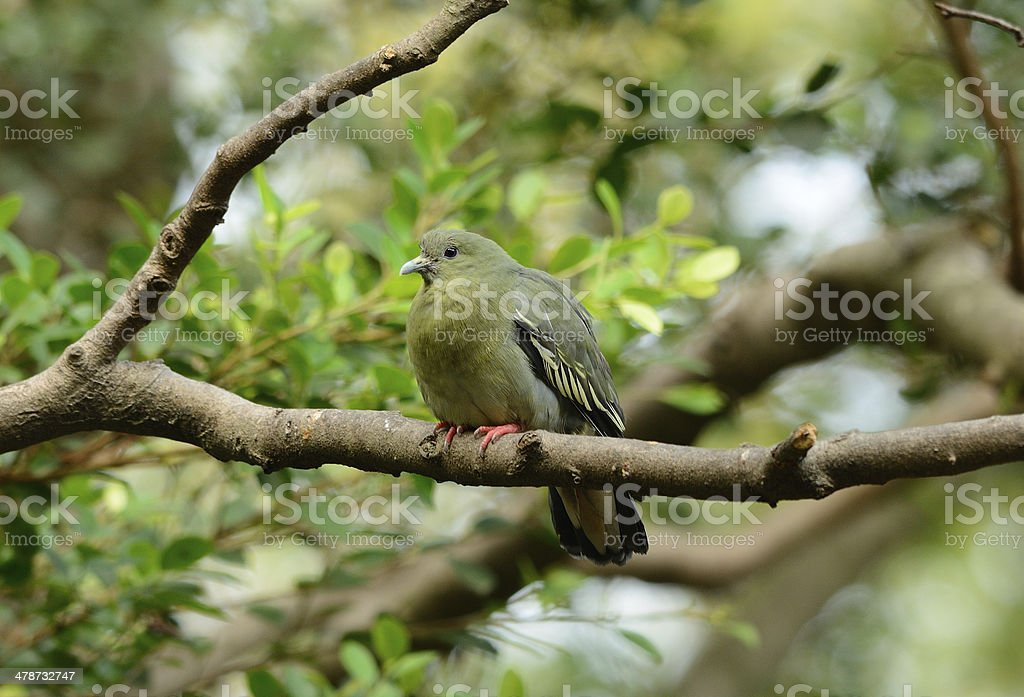 beautiful female Pink-necked Green-Pigeon possing on branch