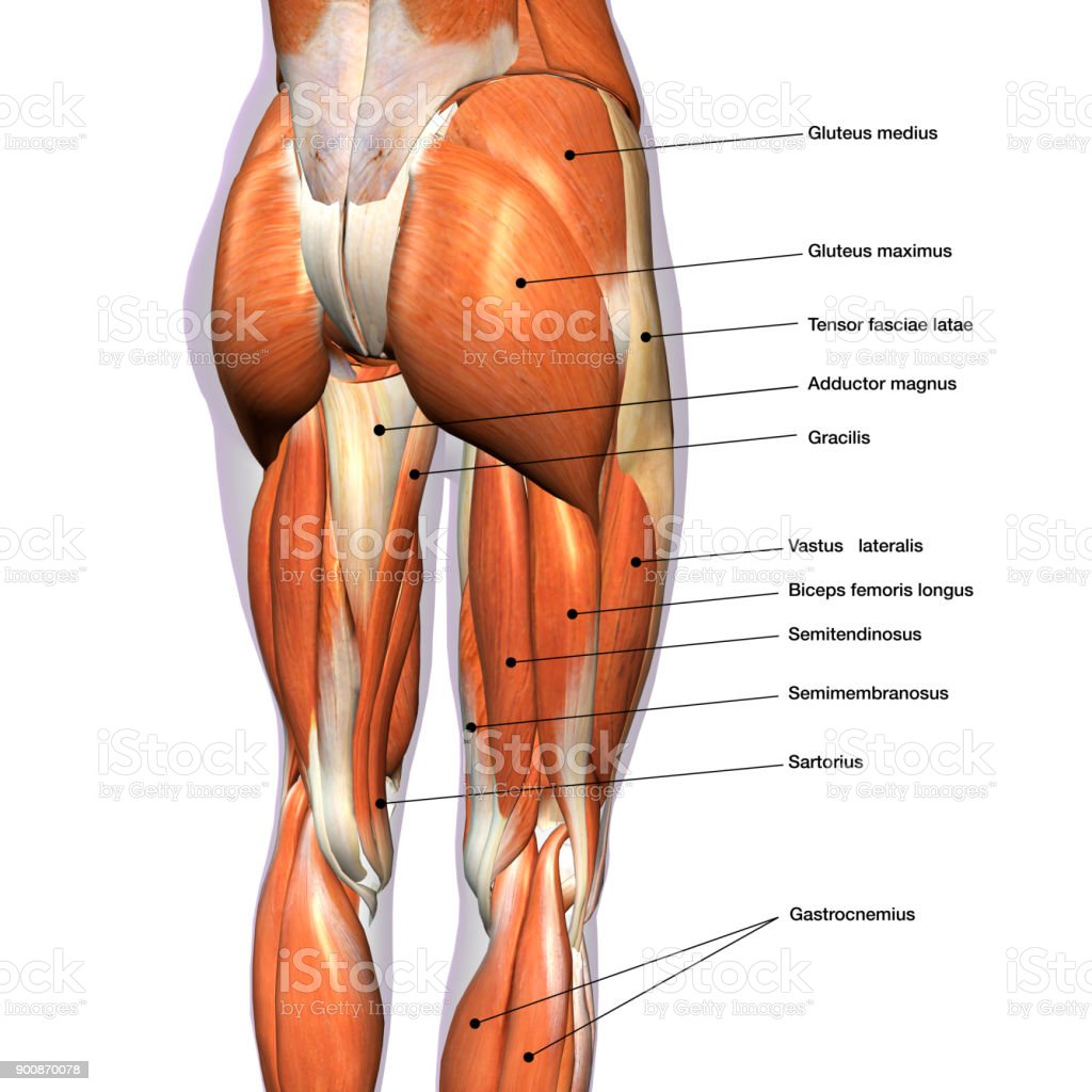 Female Posterior Leg Muscles Labeled On White Stock Photo More