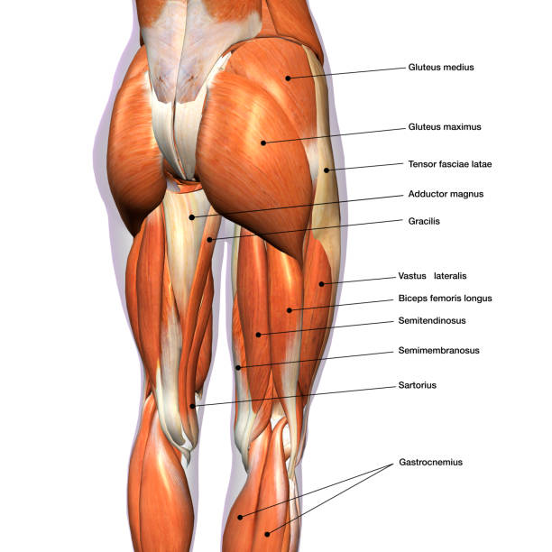 Female Posterior Leg Muscles Labeled on White Rear view of woman's thigh and knee muscles with names hamstring stock pictures, royalty-free photos & images