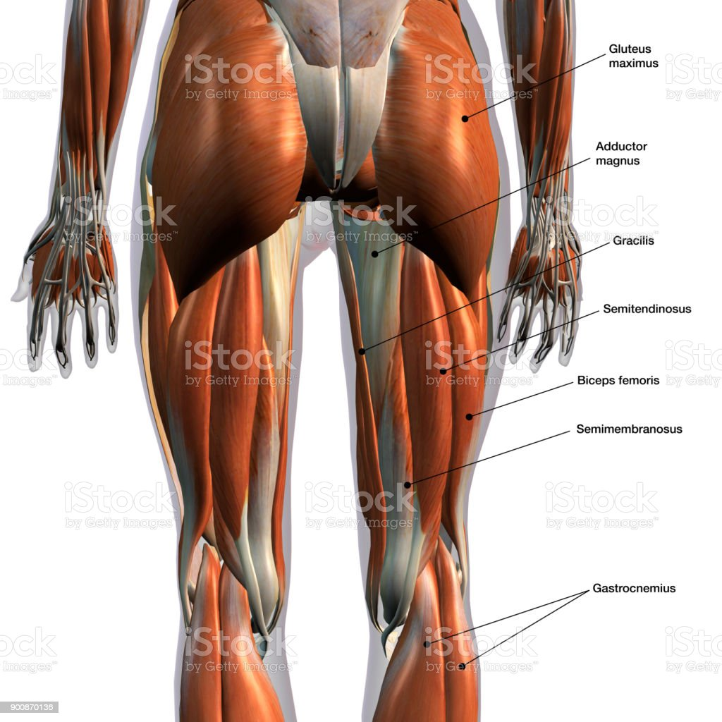 Female Posterior Leg Muscles Labeled On White Stock Photo & More ...