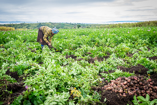 Female Potato Farmer Stock Photo - Download Image Now
