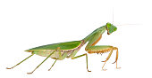 Vector illustration of a praying mantis against a white background.  Mantis is on its own layer, easily separated from the background.  Illustration uses linear and radial gradients.  Both CS .ai and AI8-compatible .eps formats are included, along with a high-res .jpg.