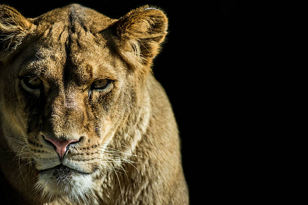 female predator - lioness stock photos and pictures
