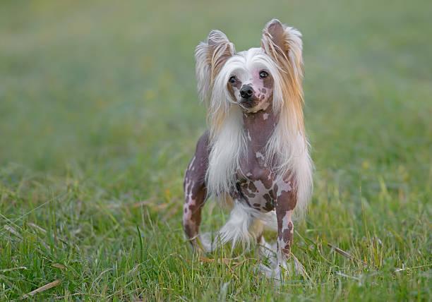 weibliche pure rasse chinese crested dog - chinesische schopfhunde stock-fotos und bilder