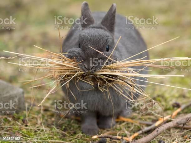 Female rabbit collecting material picture id925392152?b=1&k=6&m=925392152&s=612x612&h=qo igt9tzz7qavqmhds5inhtg9bki9jcz52qf0uvm6g=
