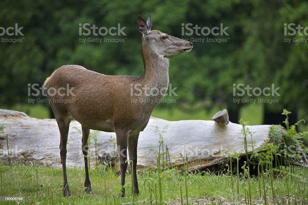 Female Red Deer royalty-free stock photo