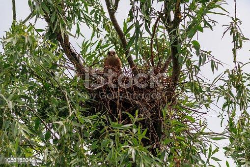 the female red footed falcon in the nest. Danube Delta, Romania