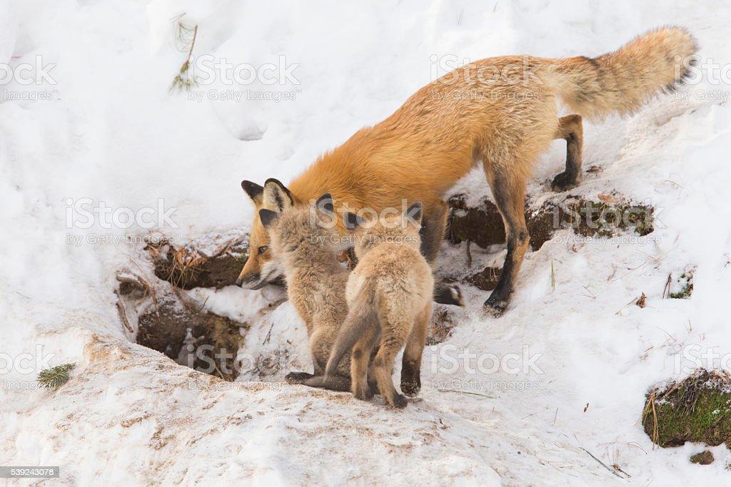 Hembra de zorro rojo y las crías foto de stock libre de derechos