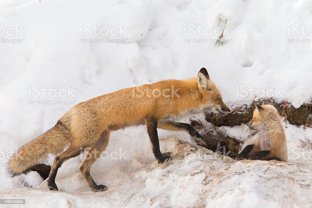 Female red fox and pups royalty-free stock photo