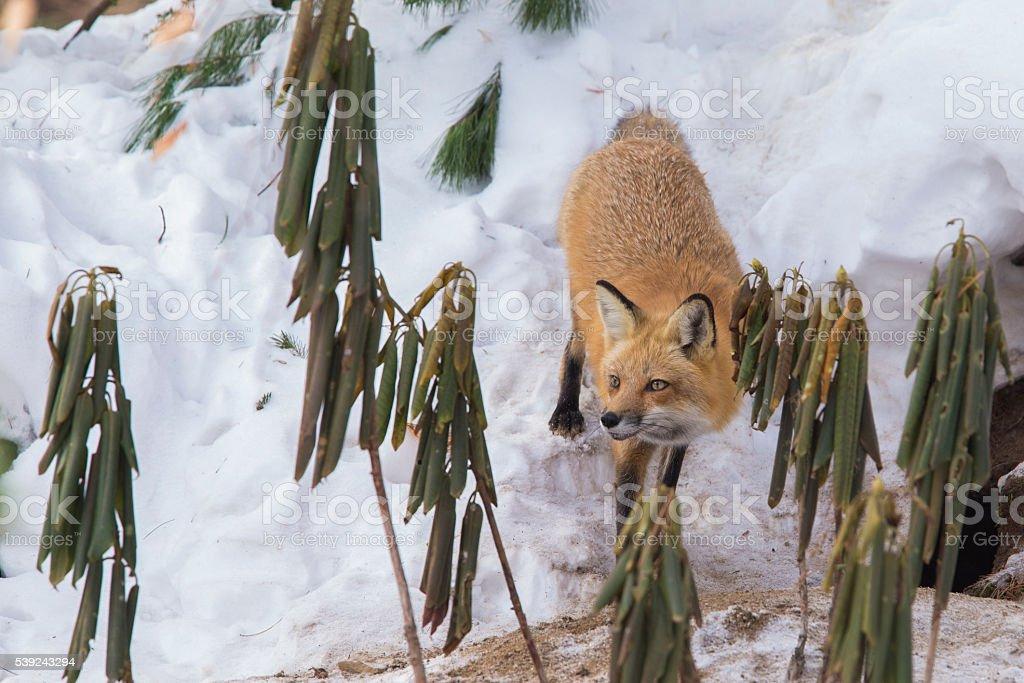 Hembra de zorro rojo en invierno foto de stock libre de derechos