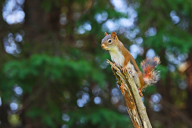Female Red Squirrel Perched on Branch stock photo